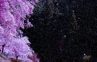 うぐい川の桜吹雪