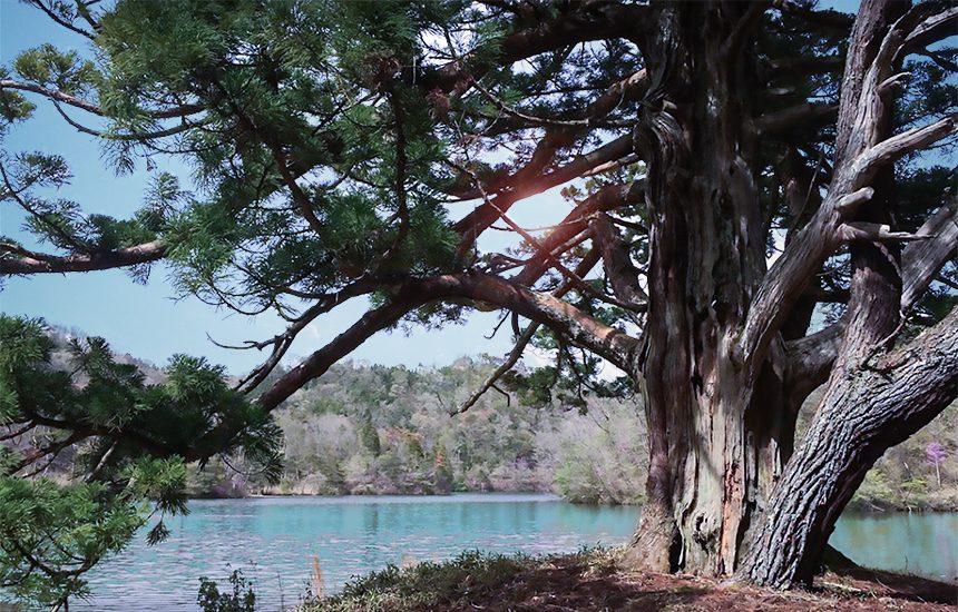 岩尾の一本杉